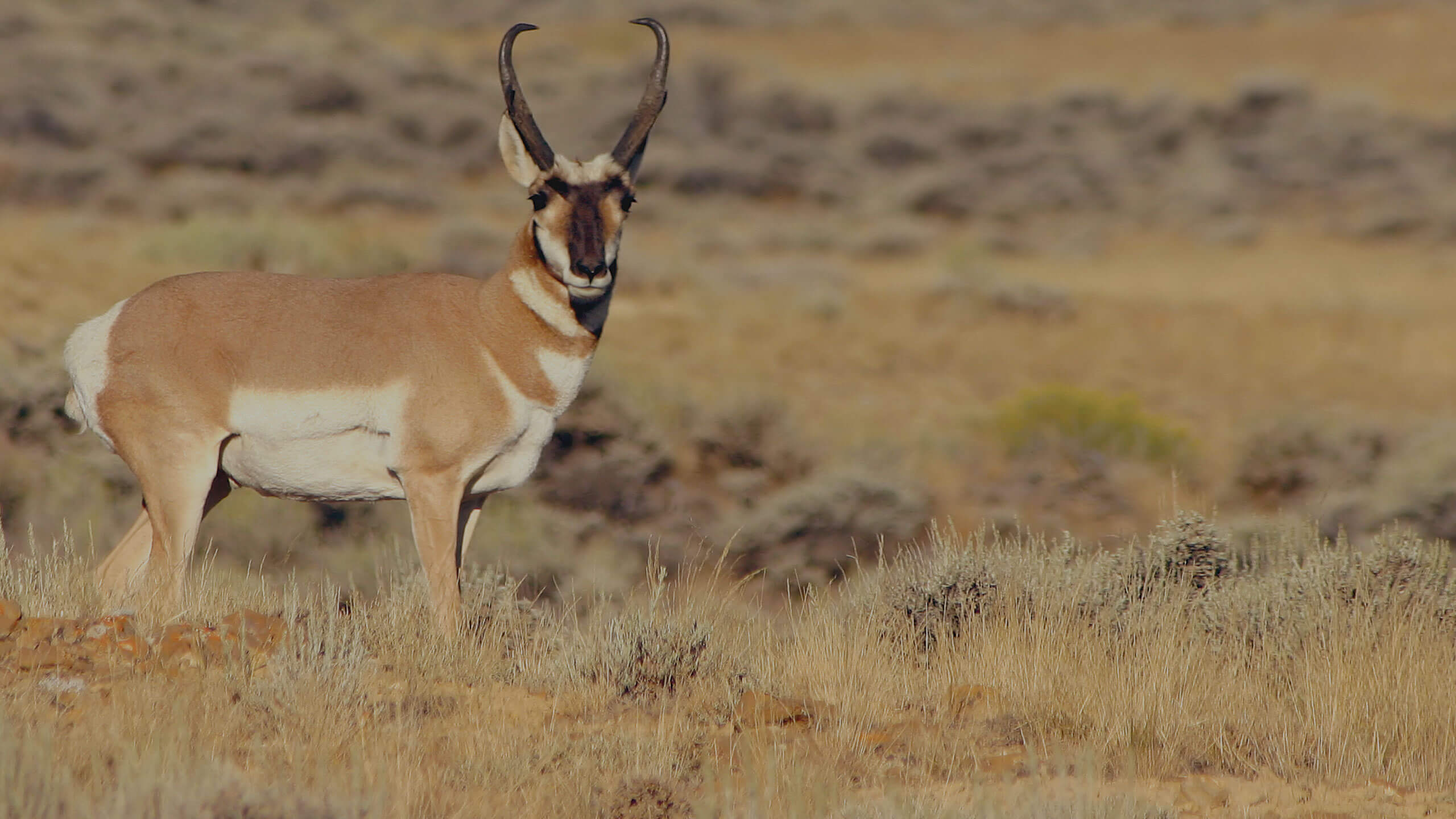 antelope New Mexico - guided trophy hunts with G3 Outfitters