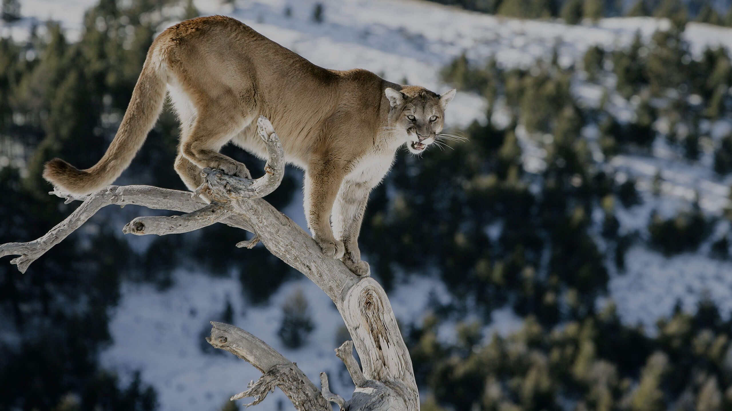 hunting mountain lion in New Mexico with G3 Outfitters