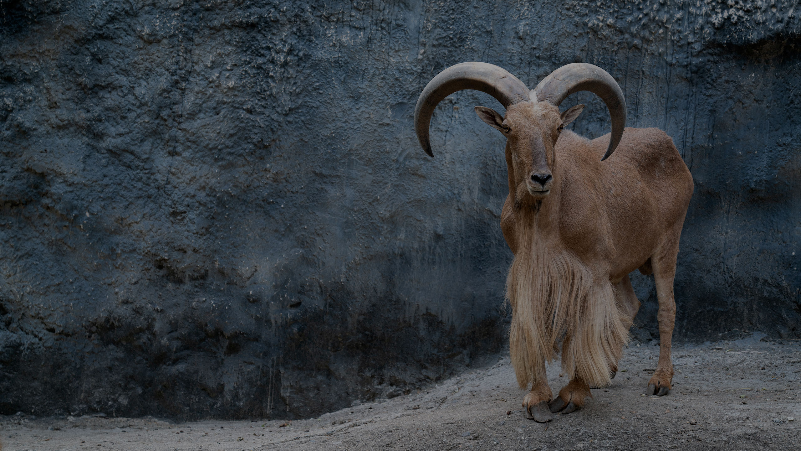 aoudad hunting guide texas - new mexico - G3 Outfitters