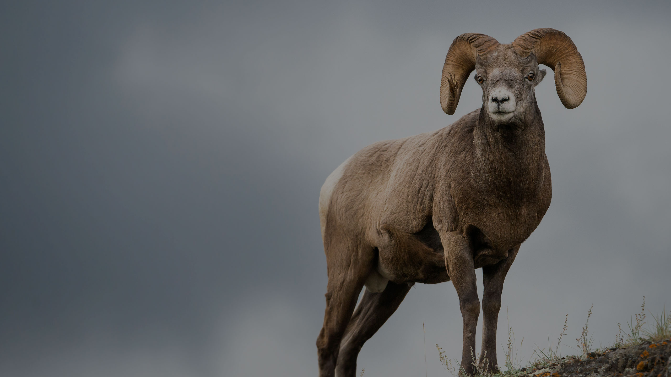bighorn sheep guide arizona new mexico - g3 outfitters